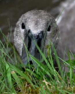 juvenile swan at Greenhill