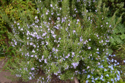 Improve Your Memory With Herbs: The Health Benefits Of Rosemary