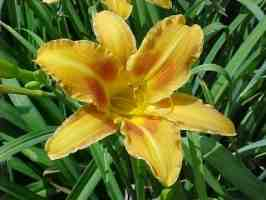 Top Brass Cultivar