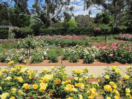 I have taken this photo from the Internet, to show you how beautiful this display of roses flowers are, this is more compact display than  in New Farm Park, when the roses are in flower.  As I said I have done this to replace the missing roses above.