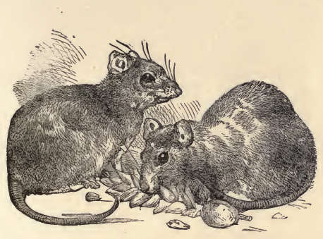 Town and Country mouse by Charles Robinson