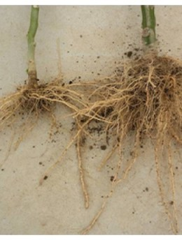 The root system on the left is the usual root system of most plants.  The root system on the right is one that has been grafted.