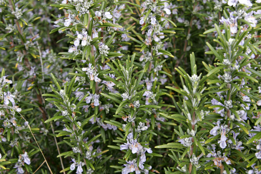 Rosemary bush in bloom.