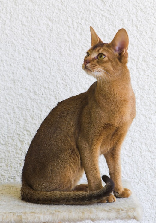 "A ""Gustav chocolate"" Abyssinian cat, one of the most popular breeds of shorthair cat the U.S."