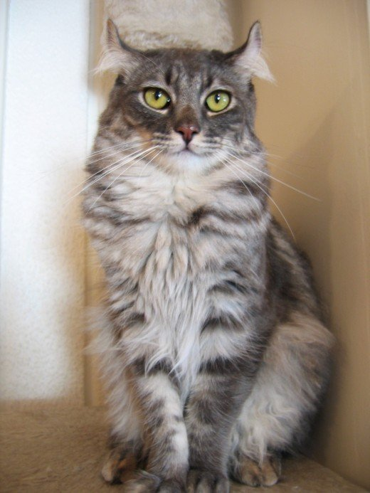 An American Curl cat is characterized by its unusual ears, which curl back away from the face and must be handled with care.