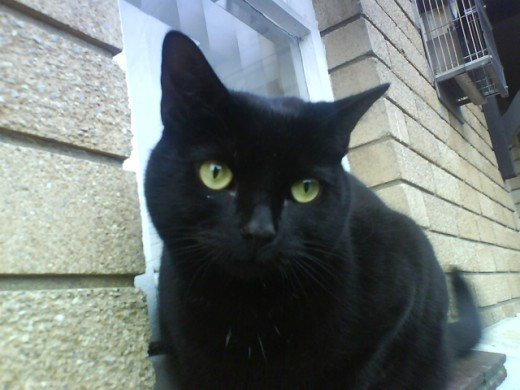 A Bombay cat is a breed mixing a sable Burmese and an American Shorthair.
