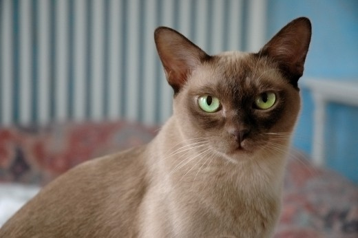 Burmese cats were originally from an area of Thailand, then called Siam.