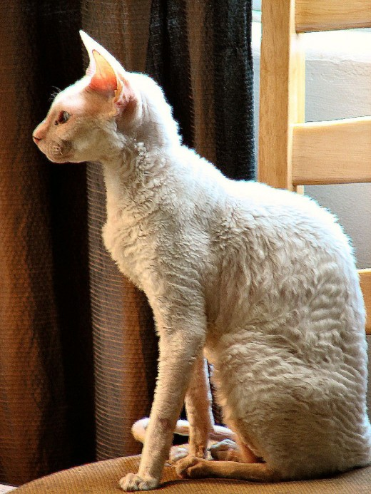 A white Cornish Rex. This breed has fine, curly hair and the ears and tails of Siamese cats.