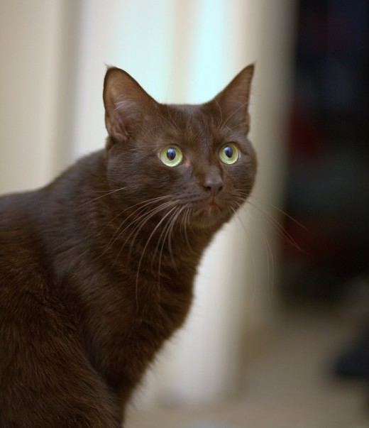 The Havana Brown is the result of breeding between Siamese and American Shorthair.