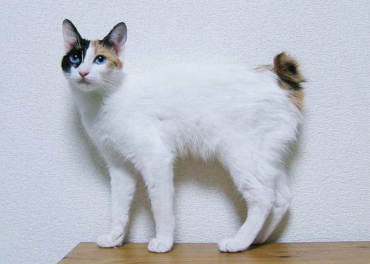 The tail of a Japanese Bobtail looks more like a rabbit's tail than a cat's.