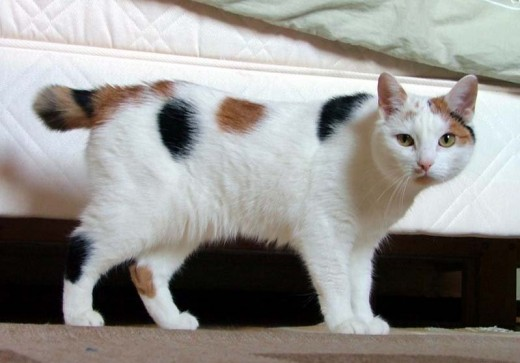 "This Manx cat is a ""stumpy"" because it has a short tail."