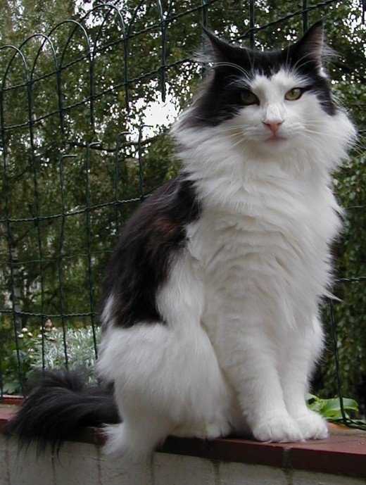A Norwegian Forest cats is similar to a Maine Coon, with strong legs, a bushy tail, and a sturdy body.