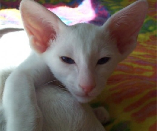 Oriental Shorthairs, like this white with blue eyes, come in over 300 different colors.