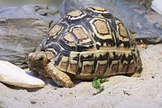 The leopard tortoise with his leopard spots.