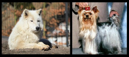 Yorkshire Terrier and Wolf