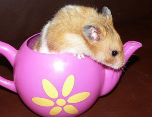 Syrian Hamster in Tea Cup