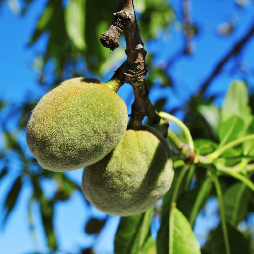 Almonds grow on deciduous trees that grow as tall as 32 or more feet. Almond trees typically begin to bear fruit in year seven during the autumn season.