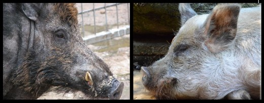 Wild boar and domesticated pig