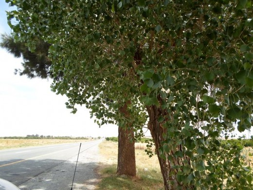 Free State, South Africa, R30, between Bloemfontein and Bothaville - Poplars providing shade for tired travellers in need of a break