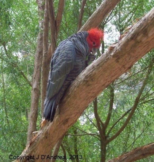 Parrot at Healesville, near Melbourne.