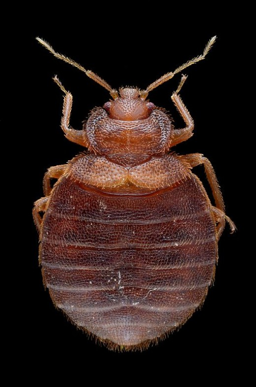 What a bed bug looks like (top view).  Look for something about a third the size of a penny.