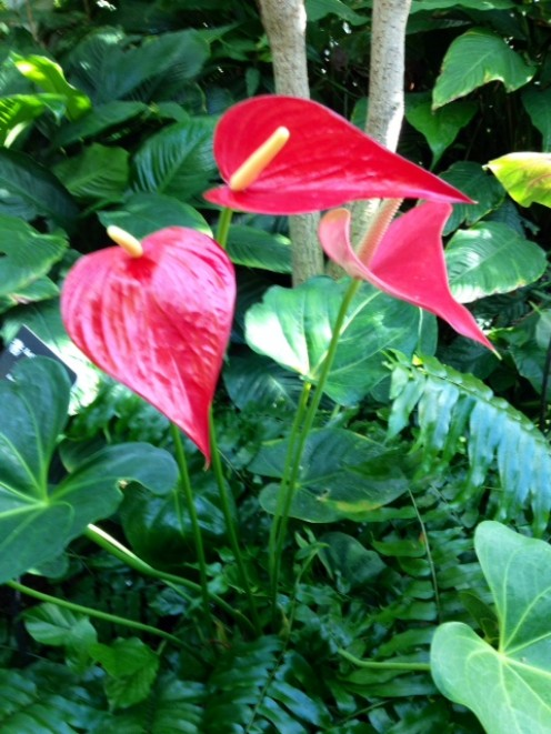 Photo 11 - Red Anthurium Flowers.  A great tropical or indoor plant and flower.