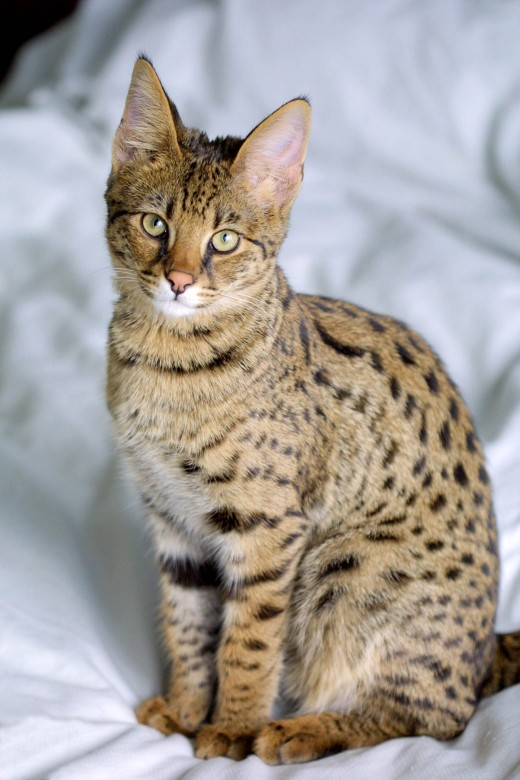A Savannah cat will follow its owner around like a dog.
