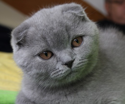A three-month-old Scottish Fold kitten.
