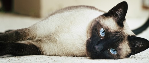 A female Siamese cat.