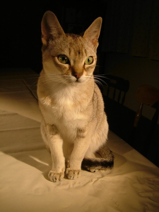 Singapura cats are typically curious, active, and playful.