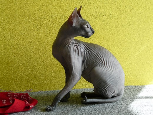 A Sphynx cat appears to be hairless, but they are not. Their skin texture is like Chamois leather.