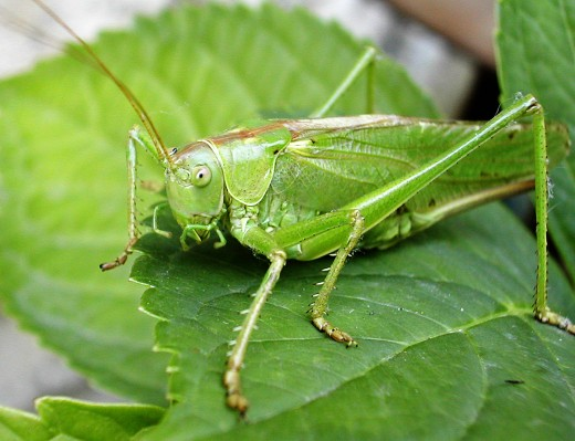 A cricket on the hearth has been a sign of good household luck for thousands of years.