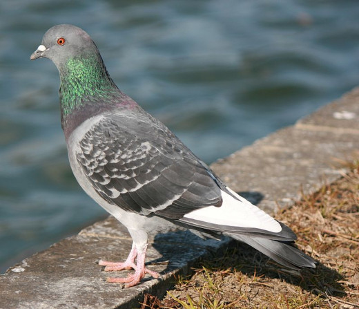 Pigeons are a common site in most towns a cities.