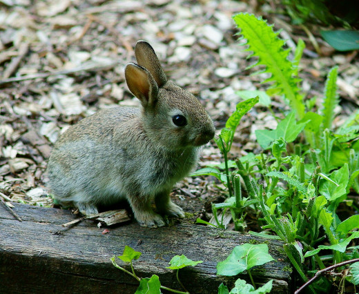 Although hard to spot, wild rabbits can be found in some urban environments.