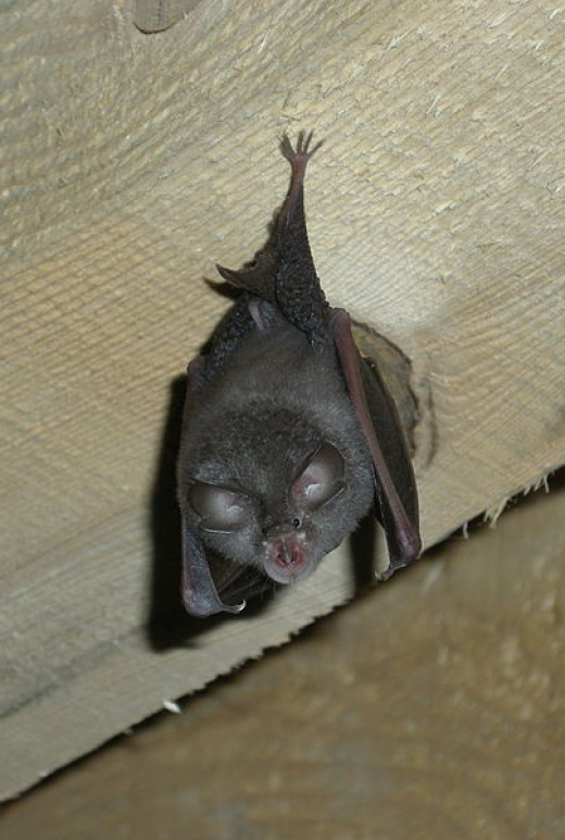 Pipistrelle Bats often roost in lofts and can be seen in the evenings searching for insects to eat.