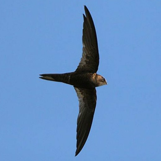 Swifts can often be spotted in urban parks on summer days.