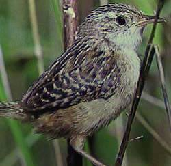 Wrens are a small busy bird with a big voice.