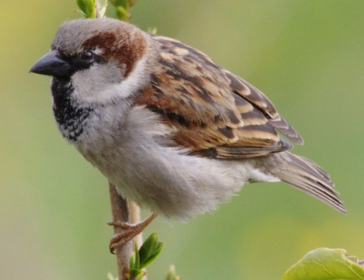 House sparrows are a comon visitor to urban gardens.