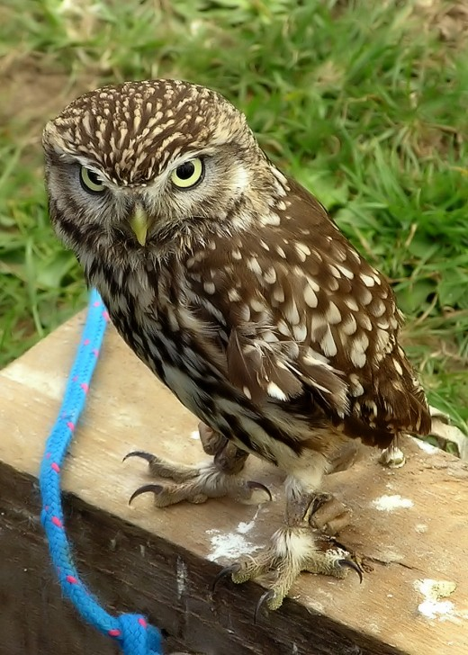Little owls can sometimes been seen perched on tree branches or telegraph poles.