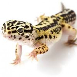 Getting your first Leopard Gecko