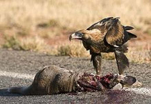 Carrion: food for vultures