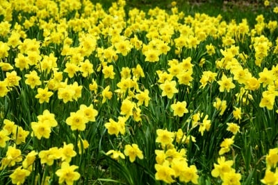 You know when Spring is close by when the daffodils sway in the wind!