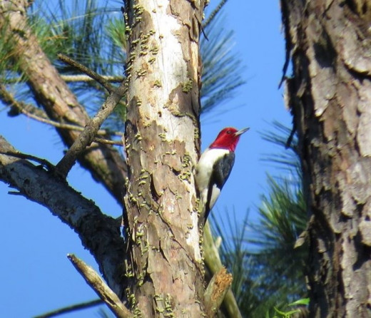 This red headed was pecking out a nesting cavity on this dead pine.