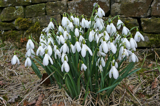 Snowdrops are a common bulb and can flower as early as January. They are very hardy and can even survive snowy periods.