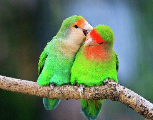Citaten Love Bird : Lovebirds types and personality hubpages