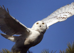 Snowy owls spotted as far south as Florida