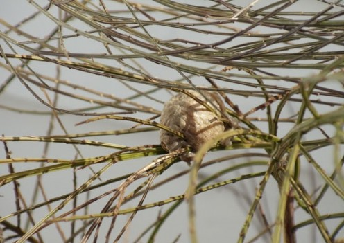 Mantis egg sac.