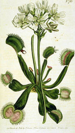 The flowering Venus flytrap, Dionaea muscipula, with its predatory leaves.