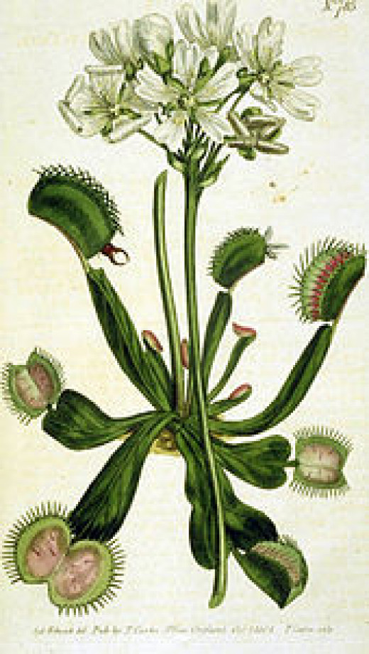 The flowering Venus flytrap, Dionaea muscipula, with its predatory leaves.