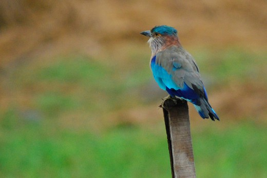 Blue Jay or Indian roller bird
